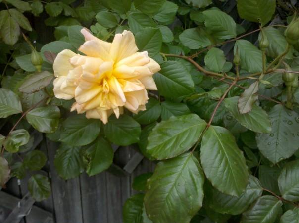 Karen gave us this fragrant long blooming rambling rose. I bet it would enjoy a cool summer.